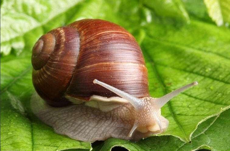 河南白玉蜗牛