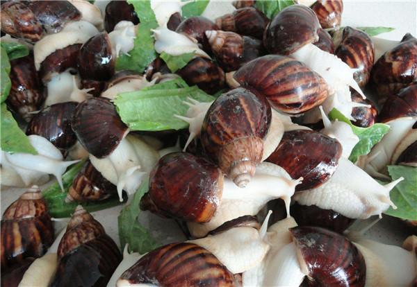 河南白玉蜗牛养殖