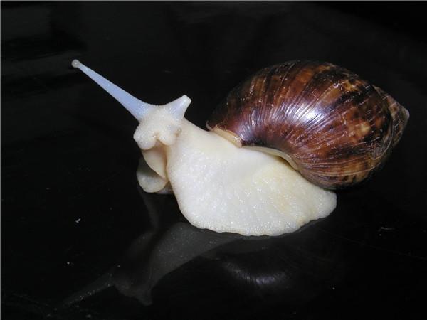河南白玉蜗牛养殖中吃什么比较好呢?本篇文章告诉您答案