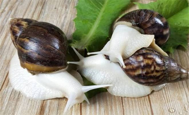 河南养育白玉蜗牛常见的几大问题