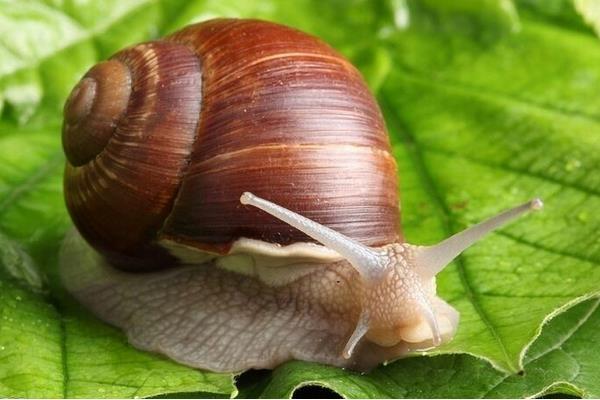 白玉蜗牛的生长习性以及饲养注意事项你了解多少