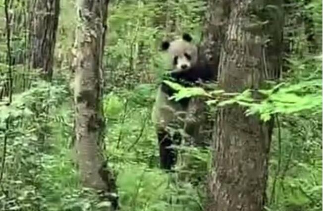 秦岭主峰5年来首现野生大熊猫,巡视员10米内拍下上树瞬间