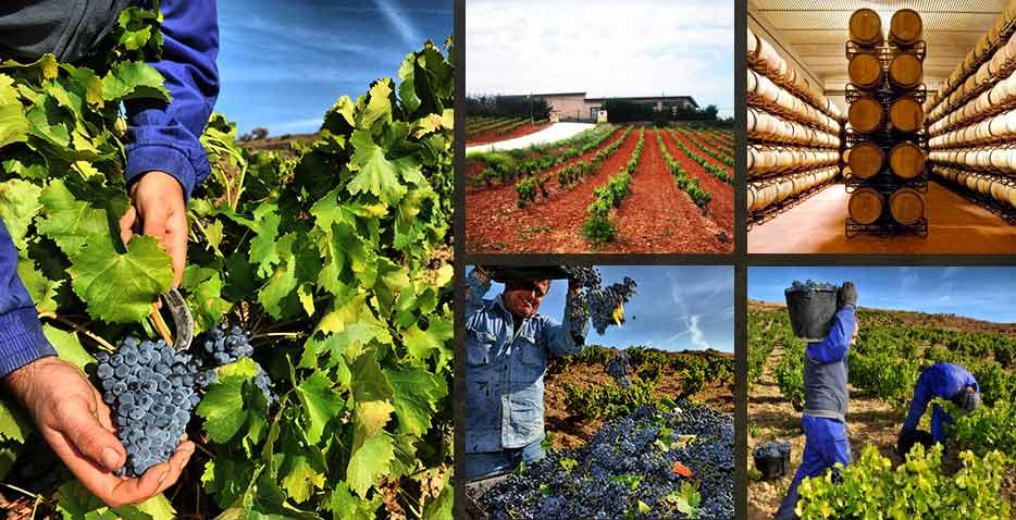 酒庄葡萄种植基地