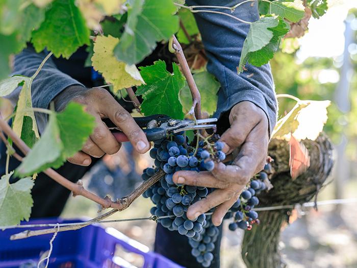 全球新冠肺炎疫情和自然灾害的双重挑战下的葡萄采收情况