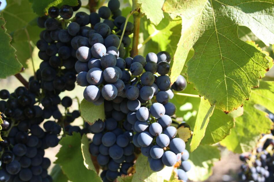 这些知名西拉葡萄酒,都是什么来头?马瑟兰红酒来解析下。