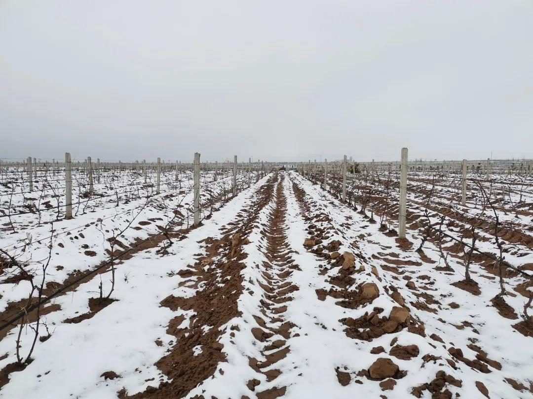 李华院长赴红寺堡产区指导酿酒葡萄免埋栽培试验示范