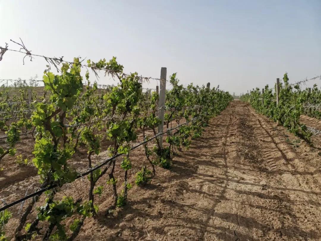 吴忠市高质量完成酿酒葡萄出土展藤贺兰山东麓葡萄酒