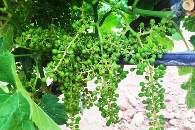 贺兰山东麓酿酒葡萄开花坐果期气象条件分析