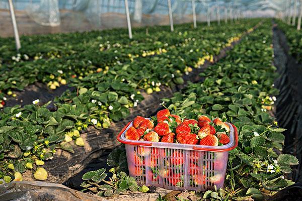 草莓大棚是一种利用太阳能进行植物培植的一种方式