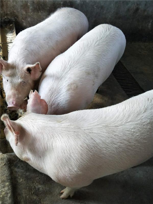怡馨老年公寓自养猪