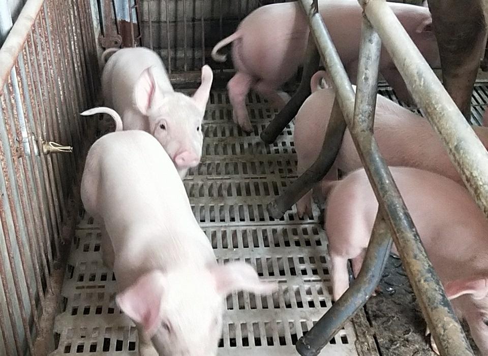 内蒙古自治区老年公寓自己养殖的猪