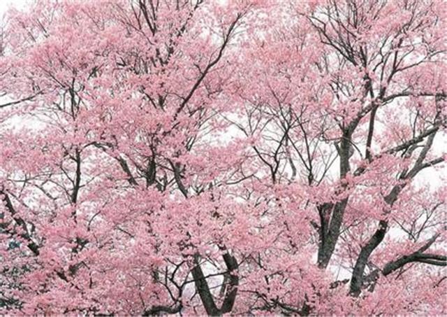 陕西樱花厂家
