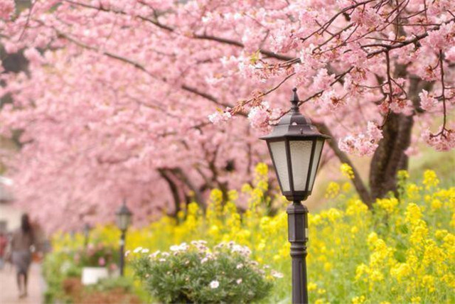 樱花,它作为一种风景,一种象征,甚至一种精神!