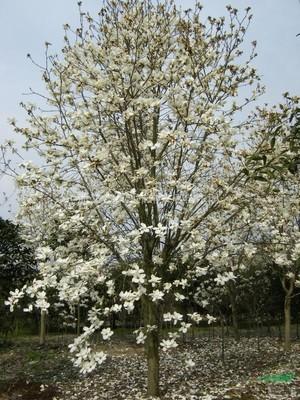 玉兰树的种植与养护管理技术