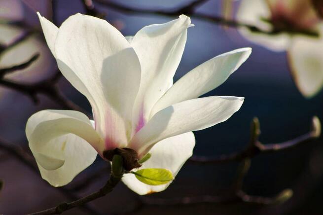 【玉兰】名贵庭院观赏树白玉兰在盘锦华丽绽放