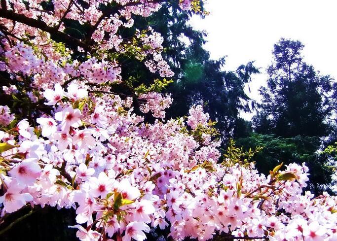 樱花揭秘常见樱花的品种都有哪些?
