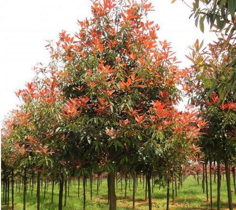 陕西红叶石楠