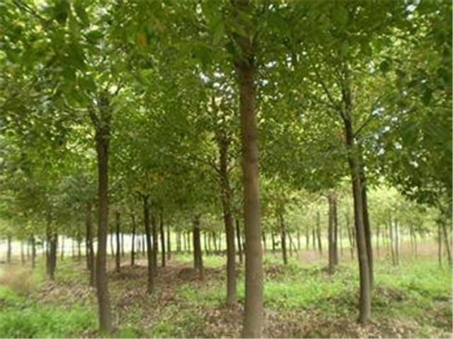 陕西绿化苗木