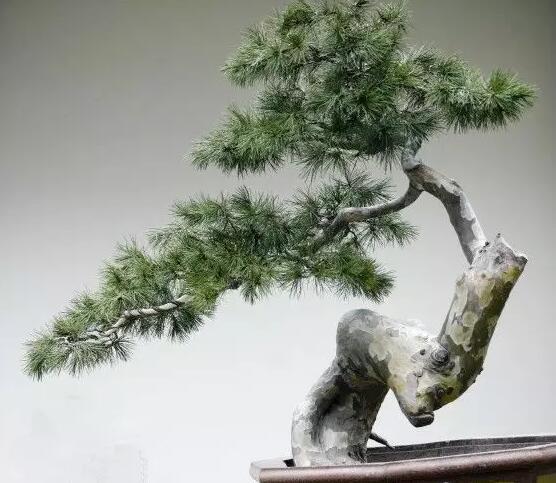 陕西白皮松苗木