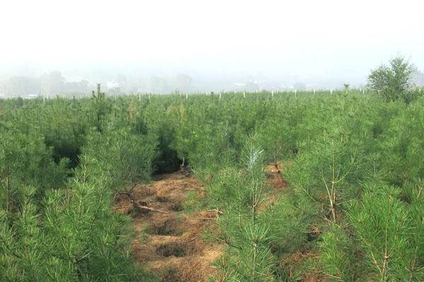 2019年白皮松价格行情及白皮松小苗种植管理技术