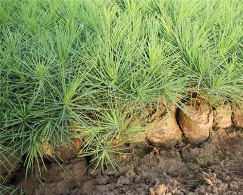 陕西白皮松苗圃地如何有效的除草?