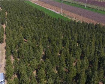 你可知陕西白皮松树死亡的原因?