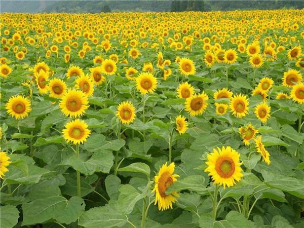 向日葵种植 向日葵种子价格 太阳花种子 葵花籽 高产 基地批发销售