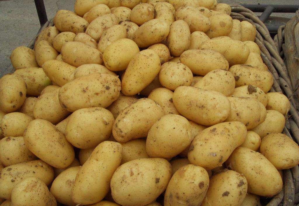 呼市土豆种子 精品优良土豆种子