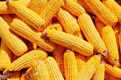 内蒙古玉米种子价格