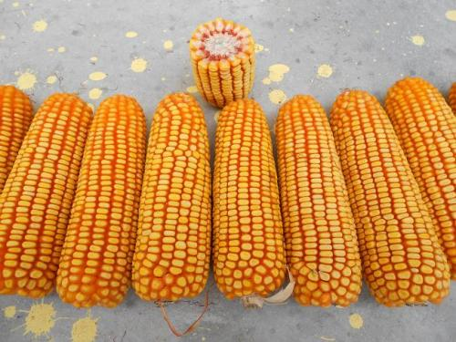 好的玉米种子具备哪些特征?都在这里!