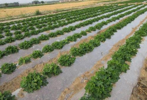 旱地马铃薯地膜覆盖种植技术,你知道吗?来学习下吧