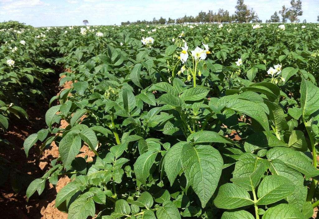 呼市肥料合作马铃薯基地