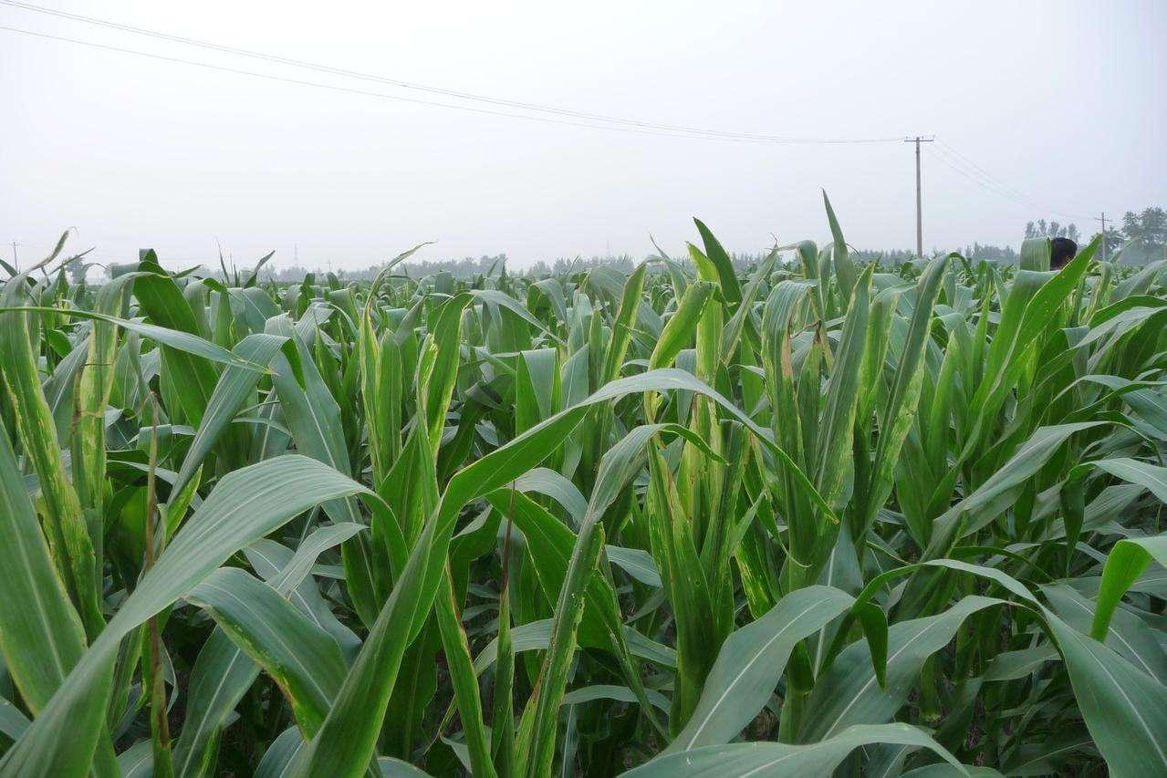 内蒙古玉米种子种植基地