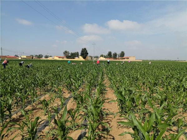 内蒙古玉米种子基地