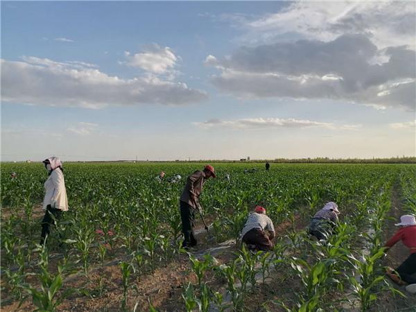内蒙古玉米地除草