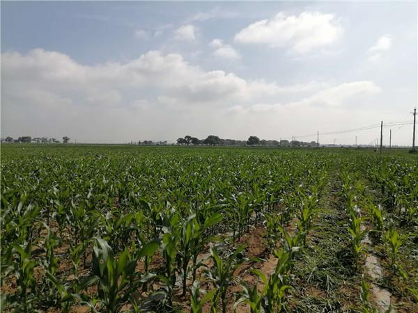 玉米种子出苗差原因 玉米种子催芽方法