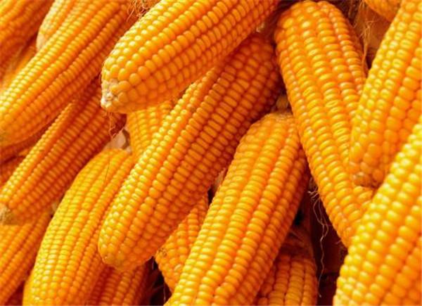 内蒙古玉米种子选购
