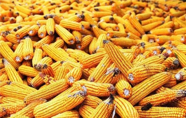 内蒙古玉米种子种植