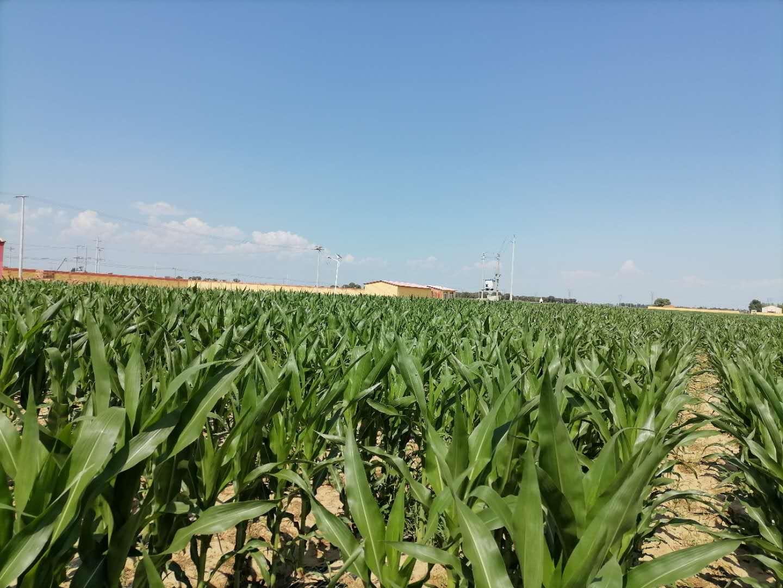 内蒙古玉米种子