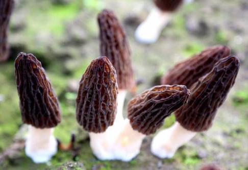 你想要了解的四川羊肚菌栽培技术都在这里了