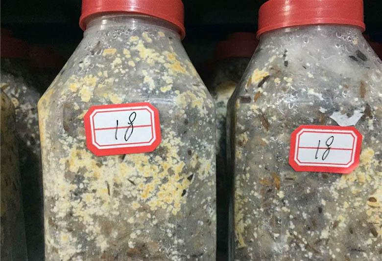 四川羊肚菌原种