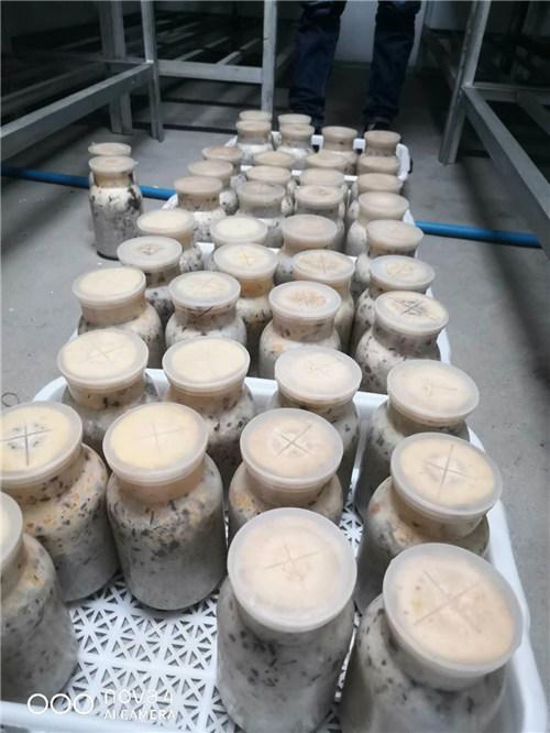 四川羊肚菌原种生产