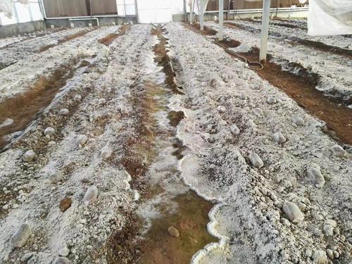 四川羊肚菌菌丝状态不好影响产量吗?