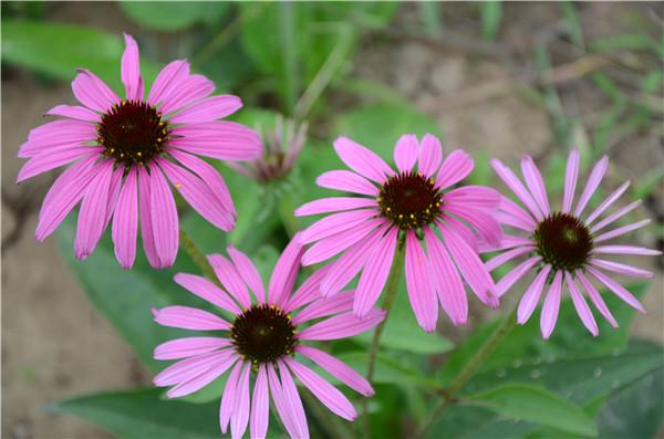 紫锥菊真的可以抗感冒防流感么?