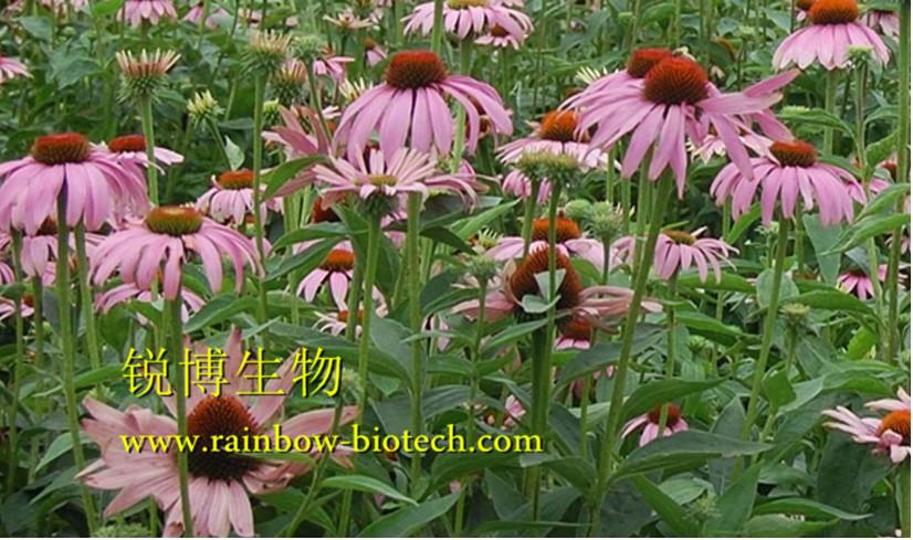 紫锥菊提取物供应