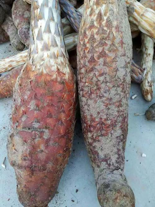 长沙肉苁蓉提取物供应