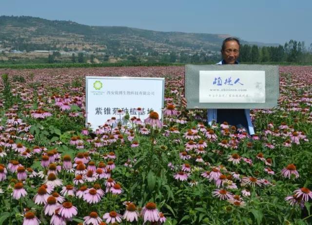 植提人实地认证锐博紫锥菊种植基地