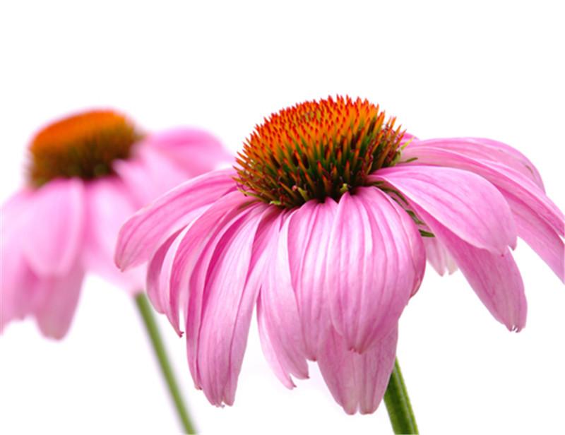 中药免疫增强剂紫锥菊的研究进展