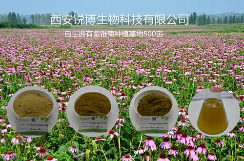 紫锥菊提取物厂家