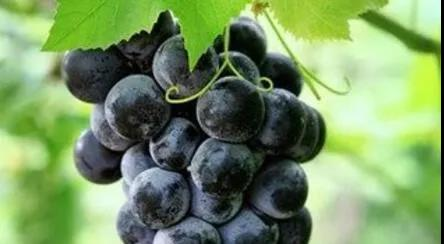 Naturex和Milne联合开发康科特葡萄提取物